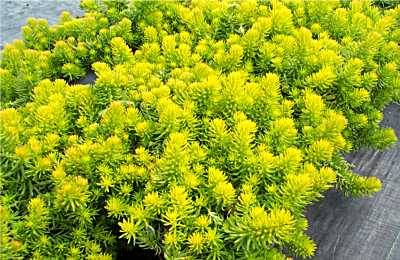 Sarilia country estates saskatchewan impressive affordable this striking chartreuse plant is an excellent ground cover as it spreads quickly full sun is recommended mightylinksfo