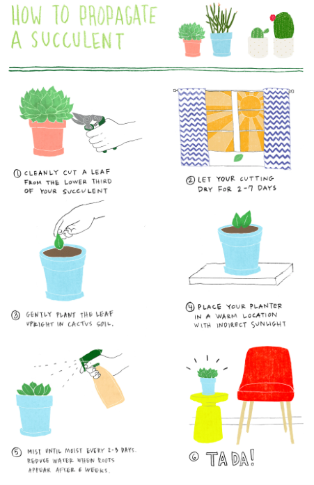 How to propagate a succulent
