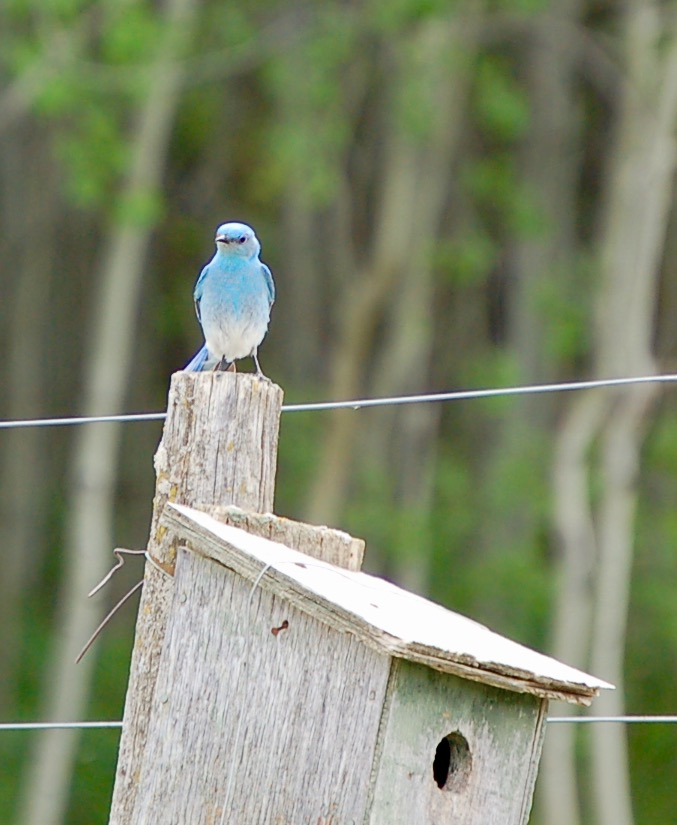 Sarilia birds bluebird