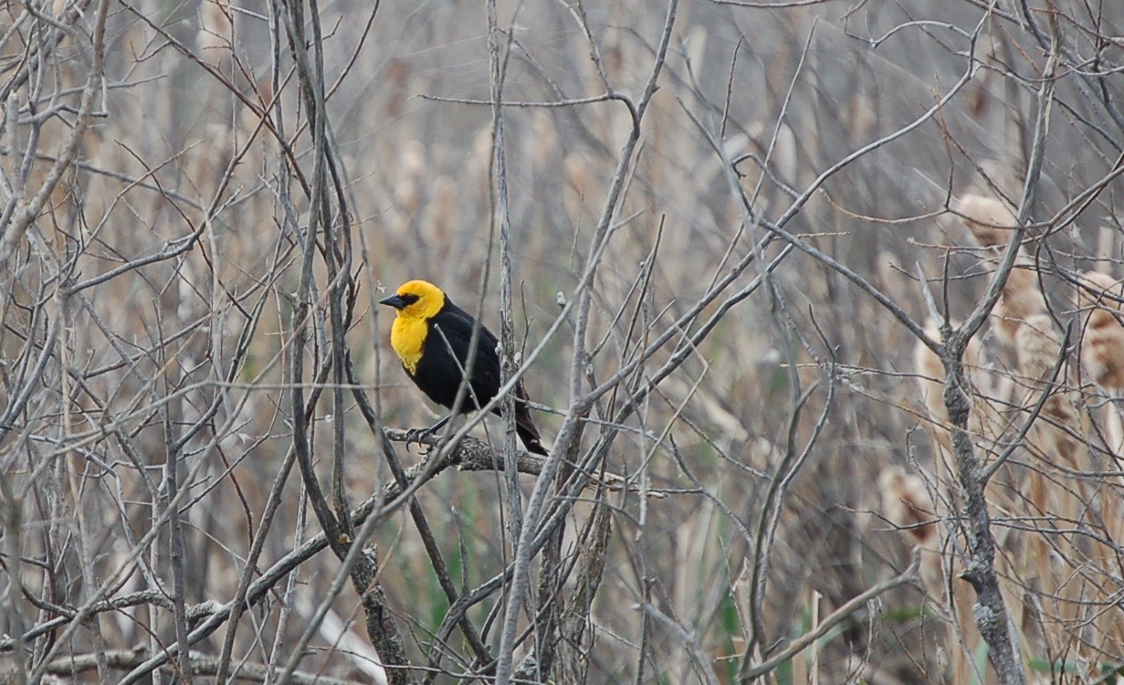 Sarilia birds