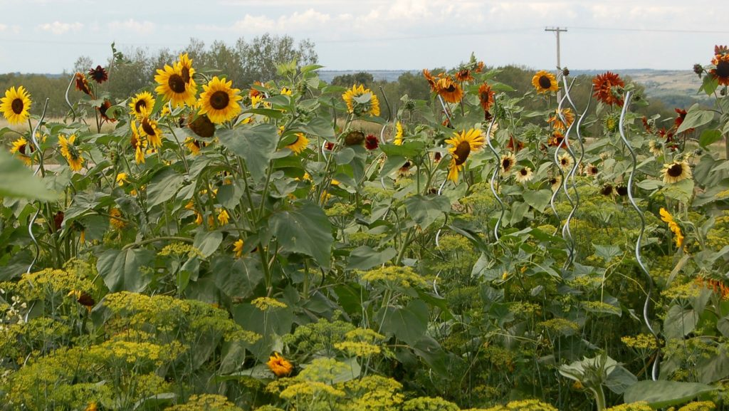 sunflowers blooming