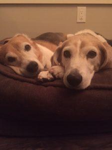 beagles5