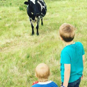 Sarilia cows